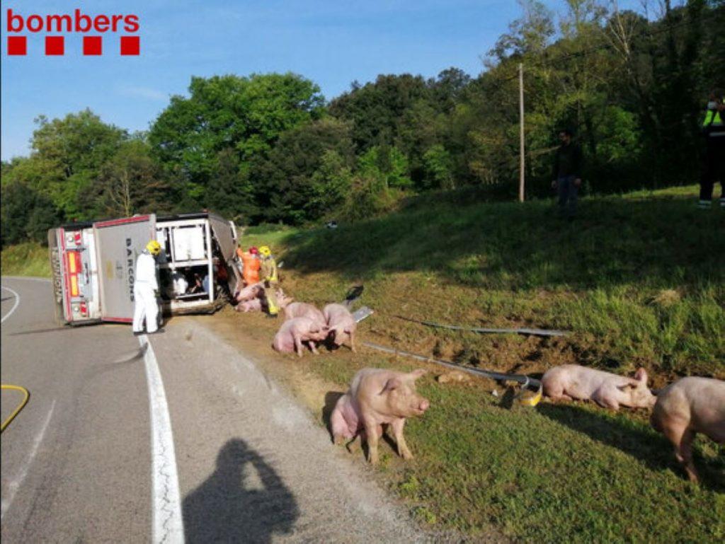 Desastre a la carretera a la Vall d'en Bas amb un camió de porcs
