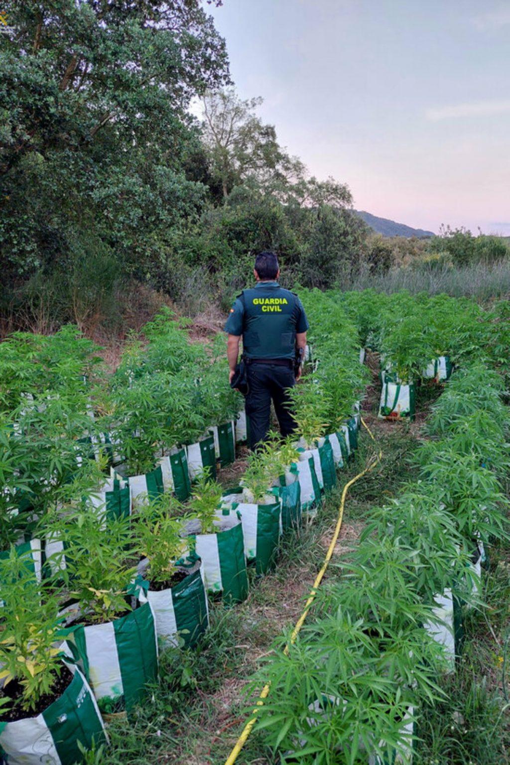 Cultiu de marihuana al bell mig del bosc a Llagostera