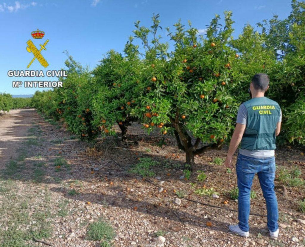 Robatori de tonelades de taronges al Pais Valencià per la seva venda a Manlleu