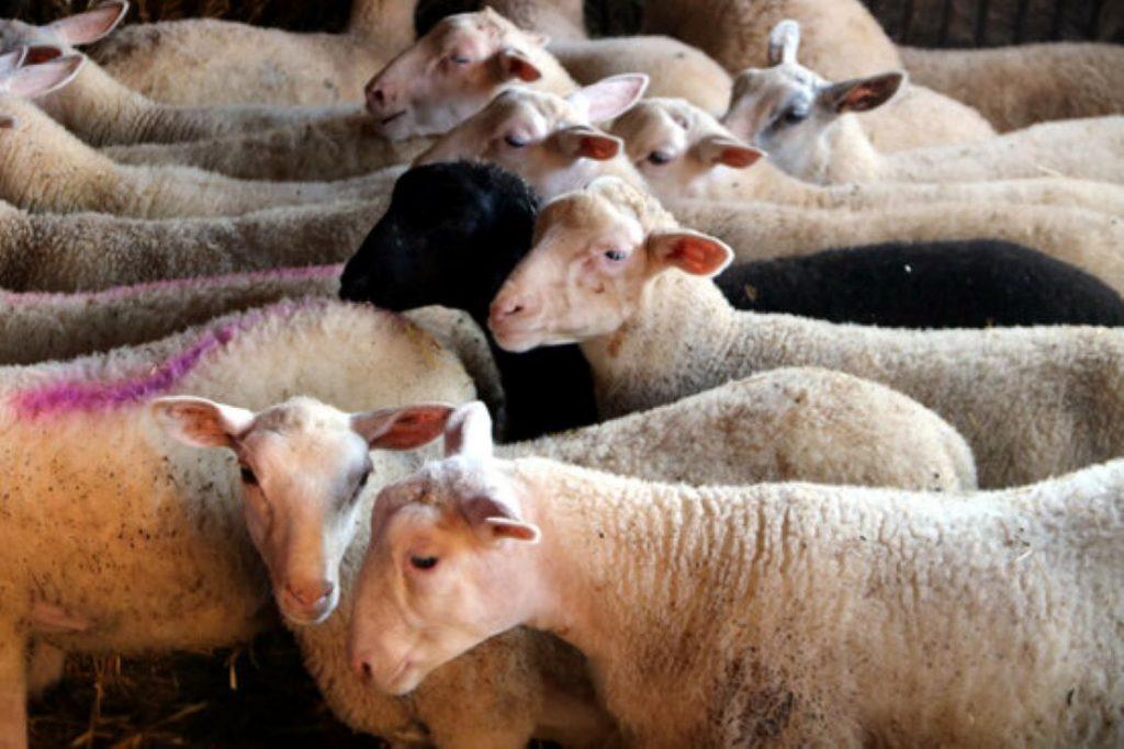 Cop d'efecte de Catalunya a favor dels petits ramaders