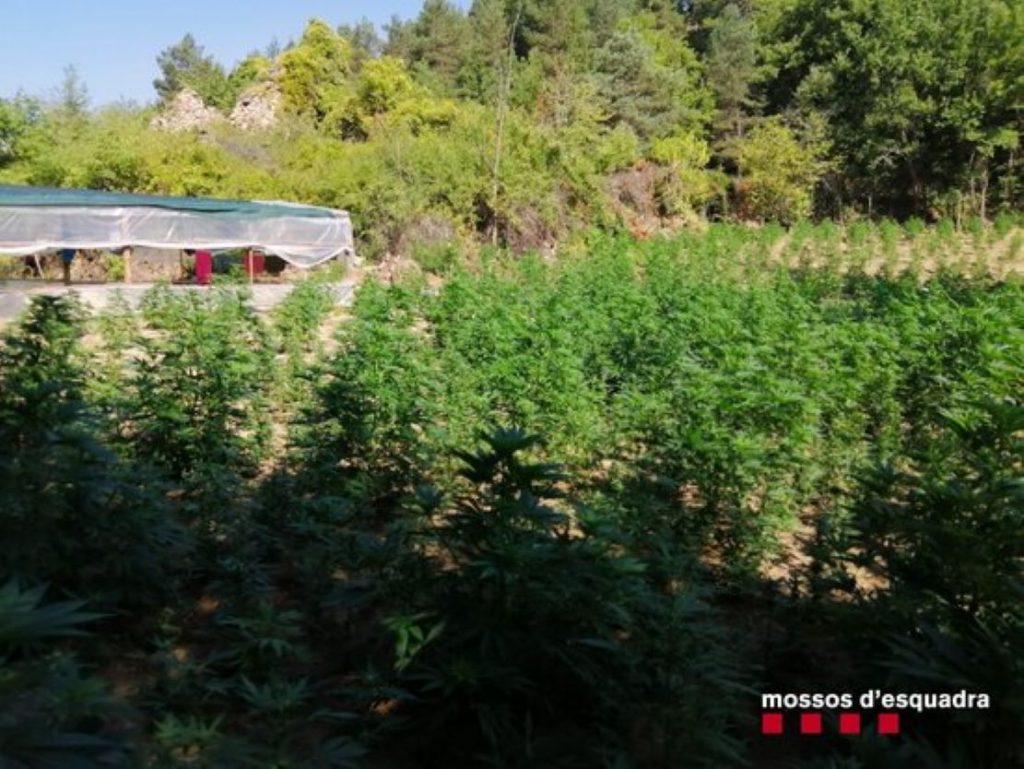 Cau una màfia de la marihuana al mig del bosc a Guixers
