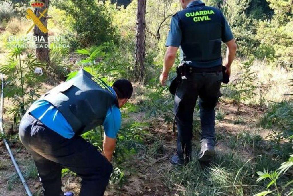 Desmantellada nova plantació de marihuana d'albanesos al mig del bosc