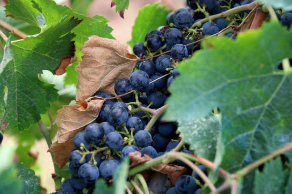 Èxit de la vinya ecològica a Catalunya